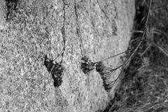 Foto in bianco e nero di una pianta sbiadita che getta un'ombra su una roccia Fotografie Stock