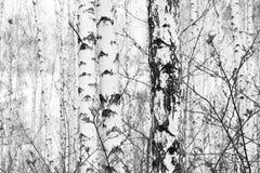 Foto blanco y negro con la arboleda del abedul de los abedules blancos Imagen de archivo