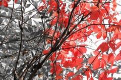 Foto blanco y negro con las hojas rojas de uvas Foto de archivo libre de regalías