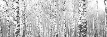 Foto blanco y negro con los abedules blancos Foto de archivo
