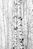 Foto blanco y negro con los abedules blancos Imagen de archivo libre de regalías