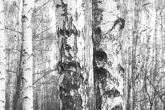 Foto blanco y negro con los abedules blancos Fotos de archivo