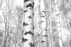 Foto blanco y negro con los abedules blancos Imagen de archivo