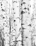Foto blanco y negro con los abedules blancos Fotografía de archivo