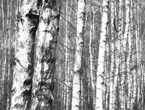 Foto blanco y negro con los abedules blancos Fotografía de archivo libre de regalías