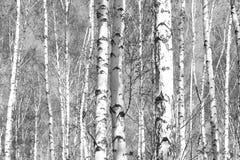 Foto blanco y negro con los abedules blancos Imagenes de archivo