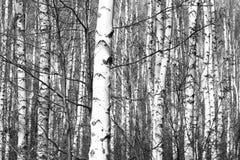 Foto blanco y negro con los abedules blancos Foto de archivo libre de regalías