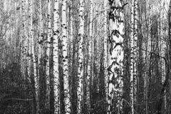 Foto blanco y negro con los abedules blancos con la corteza de abedul Fotografía de archivo