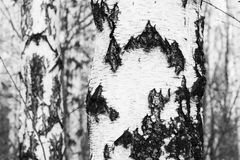 Foto blanco y negro con los abedules blancos con la corteza de abedul Imágenes de archivo libres de regalías