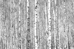 Foto blanco y negro con los abedules blancos con la corteza de abedul Imagen de archivo libre de regalías