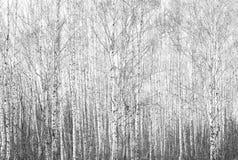 Foto blanco y negro con los abedules blancos con la corteza de abedul Fotos de archivo libres de regalías