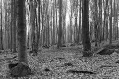 Foto blanco y negro de árboles en bosque Imágenes de archivo libres de regalías