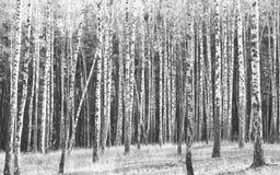 Foto blanco y negro de abedules Fotos de archivo libres de regalías