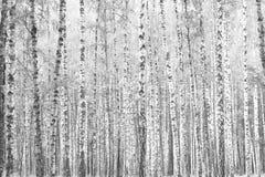 Foto blanco y negro de abedules Fotos de archivo