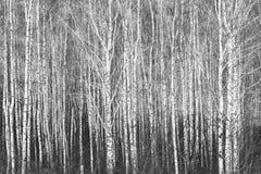 Foto blanco y negro de abedules blancos y negros Fotos de archivo libres de regalías