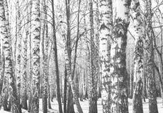 Foto blanco y negro de abedules blancos y negros Fotografía de archivo libre de regalías
