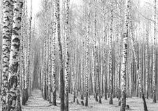 Foto blanco y negro de la arboleda del abedul en otoño Imagen de archivo libre de regalías