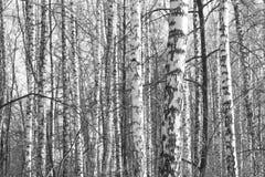 Foto blanco y negro de la arboleda del abedul en otoño Foto de archivo libre de regalías