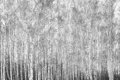 Foto blanco y negro de la arboleda del abedul en otoño Imagen de archivo