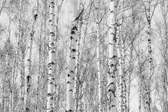 Foto blanco y negro de la arboleda del abedul en otoño Foto de archivo