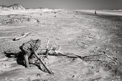 Foto blanco y negro de la playa en la Florida con madera de deriva imagen de archivo