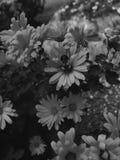 Foto blanco y negro de las flores de polinización de un abejorro Fotos de archivo libres de regalías