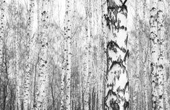 Foto blanco y negro de los árboles de abedul blanco con la corteza de abedul hermosa Imágenes de archivo libres de regalías