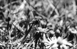 Foto blanco y negro de una abeja que chupa el néctar de un wildflower Fotografía de archivo libre de regalías