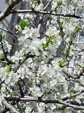 foto Blom- bakgrund, vårblom Vita blommor p? filialen arkivbilder