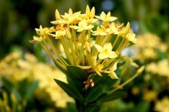 Foto-Blumen-Gelb - Fotografie Lizenzfreie Stockbilder