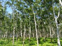 Foto bonita da árvore da borracha de Sri Lanka fotografia de stock royalty free