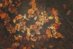Foto bonita das folhas douradas do amarelo do outono Imagens de Stock
