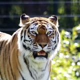 Foto bonita de um tigre imagem de stock royalty free