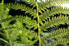 Foto bonita do close-up da planta da samambaia da samambaia Fotos de Stock
