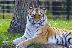 Foto bonita mesma de um tigre que encontra-se na grama imagens de stock