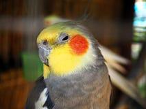 Foto bonito do papagaio colorido sonolento foto de stock