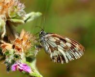 Foto bont vlinder op een bloem Royalty-vrije Stock Afbeeldingen