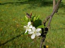 Foto cercana de una ramita del árbol de ciruelo con el flor frágil hermoso Imagenes de archivo