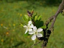 Foto cercana de una ramita del árbol de ciruelo con el flor frágil hermoso Fotos de archivo libres de regalías