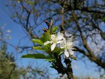 Foto cercana de una ramita del árbol de ciruelo con el flor frágil hermoso Imágenes de archivo libres de regalías