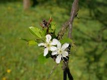 Foto cercana de una ramita del árbol de ciruelo con el flor frágil hermoso Fotos de archivo