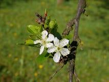 Foto cercana de una ramita del árbol de ciruelo con el flor frágil hermoso Imagen de archivo