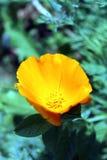 Foto colorida del primer de la flor amarilla Imagenes de archivo