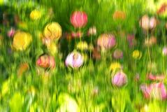 Foto colorida do astract, flores dos candelabros da prímula foto de stock