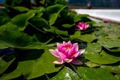 Foto colorida do close-up do lírio de água cor-de-rosa fotos de stock