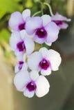 Foto común - cercana para arriba de la flor de la orquídea Fotos de archivo