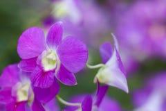 Foto común - cercana para arriba de la flor de la orquídea Foto de archivo