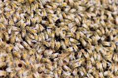Foto común: Ciérrese para arriba de abejas en una colmena en el panal Fotos de archivo