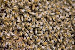 Foto común: Ciérrese para arriba de abejas en una colmena en el panal Imagenes de archivo
