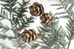 Foto común de los conos del pino Fotos de archivo libres de regalías